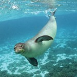 Hawaiian_Monk_Seal