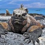 Galapagos-Marine-Iguana-Fernandina-J-Geck